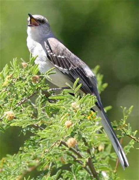 texas state bird mockingbird