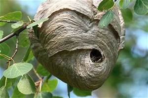 Comment Repérer Un Nid De Frelon : d truire un nid de gu pes extermination complete inc ~ Melissatoandfro.com Idées de Décoration