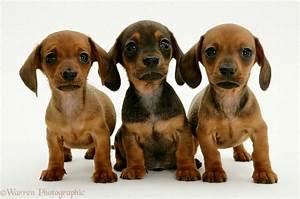 dash hound puppies