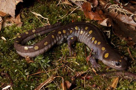 spotted salamander flickr photo sharing