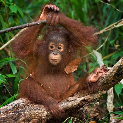 young orangutan animal kingdom monkey orangutan