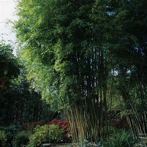 bambou g 233 ant phyllostachys nigra henonis plantes et jardins