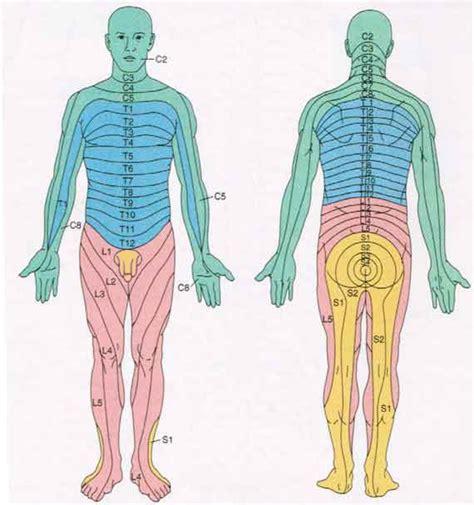 spinal cord anatomy nerves impulses fluid vertebrae dermatomes