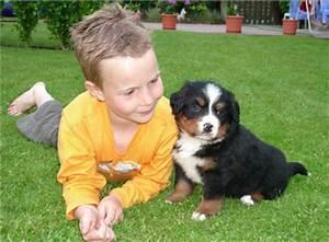 Berner Sennenhund Gewicht : tieranzeigen bernersennen kleinanzeigen ~ Markanthonyermac.com Haus und Dekorationen