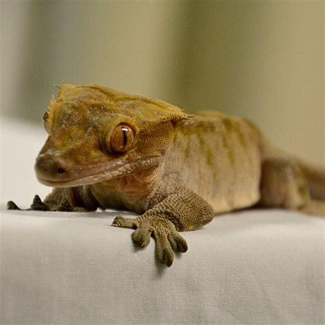 new caledonian crested gecko seneca park zoo