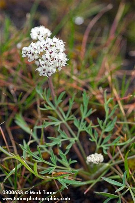 salt ls and plants lomatium piperi salt and pepper wildflowers of the