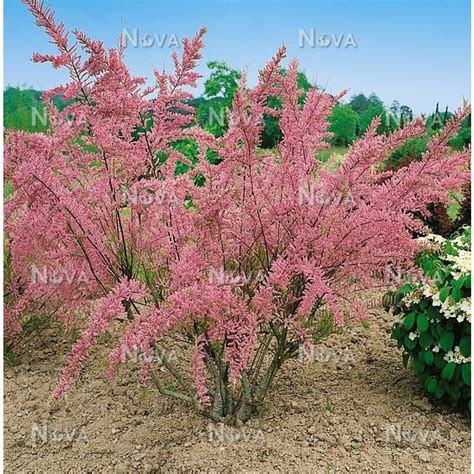 light pink flowering tree tamarix tetrandra are deciduous shrubs or small trees of feathery effect with minute leaves and