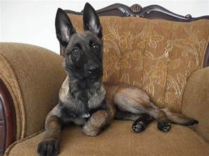 Belgian Malinois Puppies Bay Area California – Pure ...