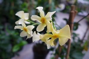 Rankpflanzen Winterhart Immergrün : sternjasmin trachelospermum star of toscane jasmin ca 50 ~ A.2002-acura-tl-radio.info Haus und Dekorationen