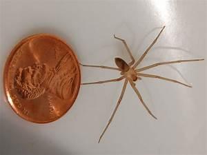 File:Loxosceles reclusa adult male 1.jpg - Wikimedia Commons