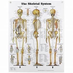Human Skeletal System Chart