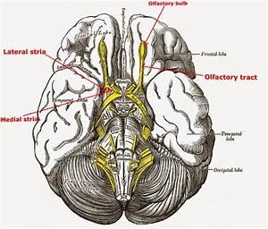 A Tale Of Med Students  Olfactory Nerve  U2013 Cranial Nerve I  1