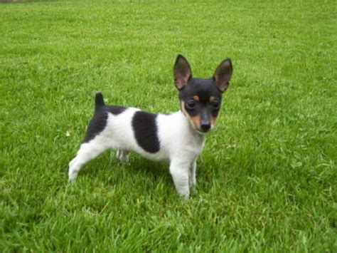 Rat Terrier Sheds Much by Breeds For Busy Families Pets World