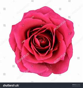 Red Rose Flower Isolated On White Stock Photo 92410534
