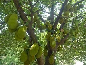 How to Grow Jackfruit   Complete Growing Guide