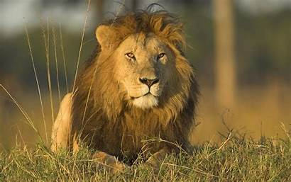 Lion African Wallpapers Animals Dangerous Lions Desktop