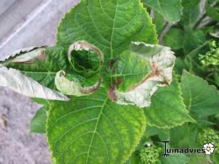 bloemen ziektes ziekte bij hortensia