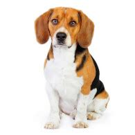 beagle dog breed information pictures