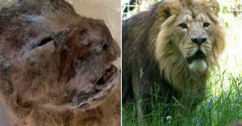 perfectly preserved cave lion  extinct  years