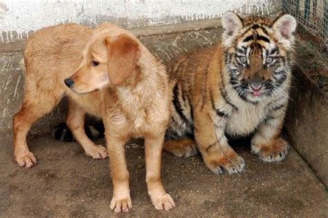 Dog China Friends Tigers Nature News Express