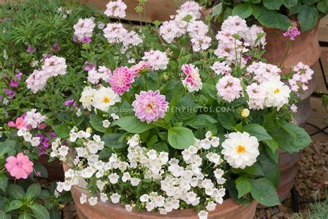plant dahlias in pots 26 best images about dahlias in planters on container gardening planters and black
