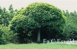 Catalpa Bignonioides Nana : llistat d 39 arbrats verd urb ~ Michelbontemps.com Haus und Dekorationen
