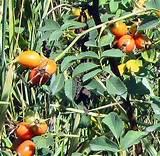 Специи и травы повышающие потенцию