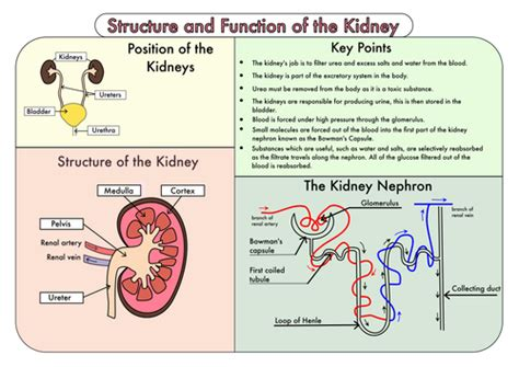 colour poster   structure  function   kidney