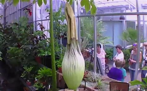 everyone is waiting for this stinky flower to bloom