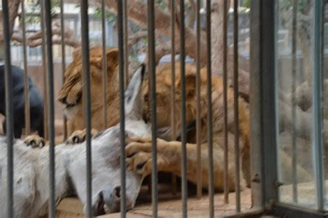 donkey zoo illegal lions mauling yesterday taken showing updated