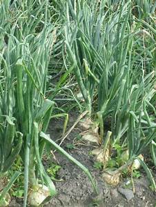 Cebolla como cultivar el huerto de urbano huerto for 5 cultivos faciles para empezar un huerto en casa