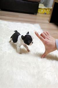 TEACUP PUPPY: ★Teacup puppy for sale★ French bulldog ...