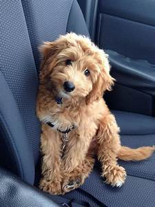 Image Gallery miniature goldendoodle