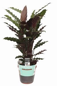 Calathea wavestar, beautiful silky leaf - FloraStore