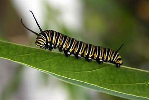 Monarch Butterfly Caterpillar By Cathleentarawhiti On
