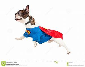 stock photo super hero dog flying over white french bulldog breed wearing costume background image