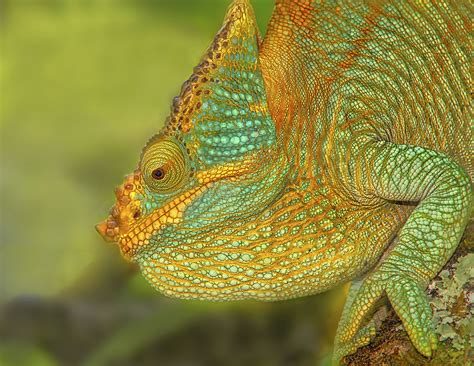chameleon madagascar reptiles 500px parson lizards