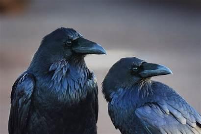 Raven Crow Birds Bird Animals Desktop Wallpapers