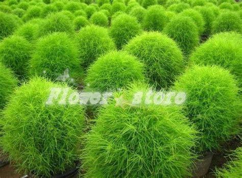 buy kochia scoparia grass kochia scoparia seeds 100 seeds park ornamental plants big lantern kochia scoparia grass best