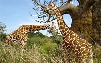 African Animals Safari 1080
