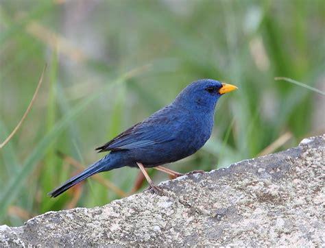 blue finch wikipedia