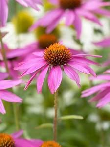Sonnenhut Pflanze Kaufen : echinacea purpurea 39 kim 39 s knee high rotbl hender garten sonnenhut g nstig kaufen ~ Buech-reservation.com Haus und Dekorationen