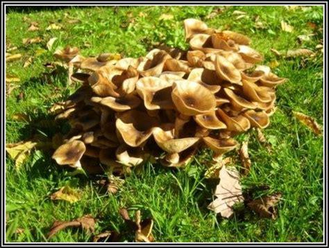 Zu Viele Pilze Im Garten by Pilze Im Garten Essbar Garten House Und Dekor Galerie