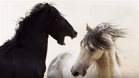 cheval noir  cheval blanc zapping sauvage youtube