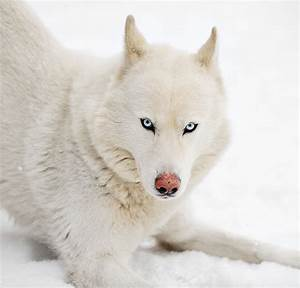 Pictures Of Huskies - An Amazing Gallery of Siberian And ...