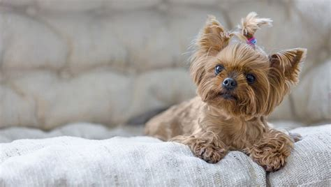Brown Maltipoo Puppies