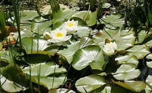 Wasserpflanzen Teich Kaufen : wasserpflanzen ~ Michelbontemps.com Haus und Dekorationen