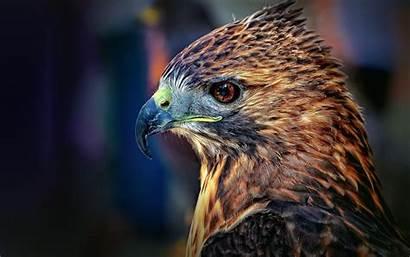 Hawk Tail Tailed Wallpapersafari