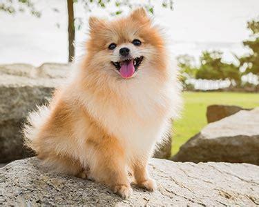 pomeranian dog breeds purina australia