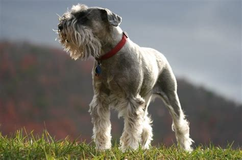 Dogs With Minimal Shedding by Top 10 Breeds That Don T Shed